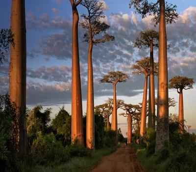 Avenida de Baobabs