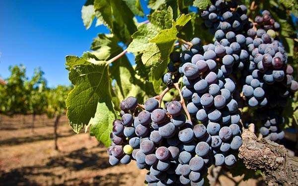 Uvas - viñedo