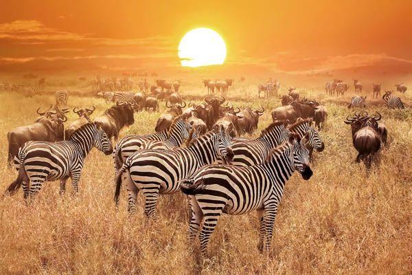 Cebras en Kenia